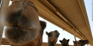 (Photo: Camels are seen at a farm specialising in producing camel milk. Credit: MARWAN NAAMANI/AFP/Getty Images)