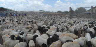 Bureau To Regulate Livestock Export From Somaliland To UAE