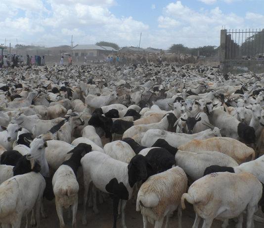 Bureau To Regulate Livestock Export From Somaliland To UAE