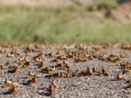 Somaliland:Ministry of Agricultural Development Announces Locust Swarms Awdal and Sahil Regions in Somaliland