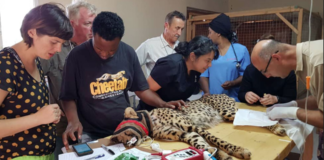 Veterinary Teamwork for the Cheetahs in Somaliland
