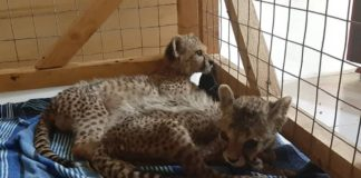 Somaliland: Only 2 cubs remain from the group of 12 that were confiscated last week-CCF Cheetah