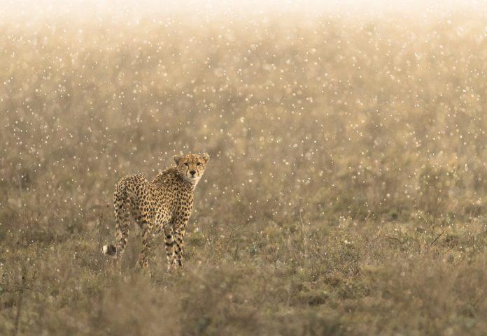 International Cheetah Day