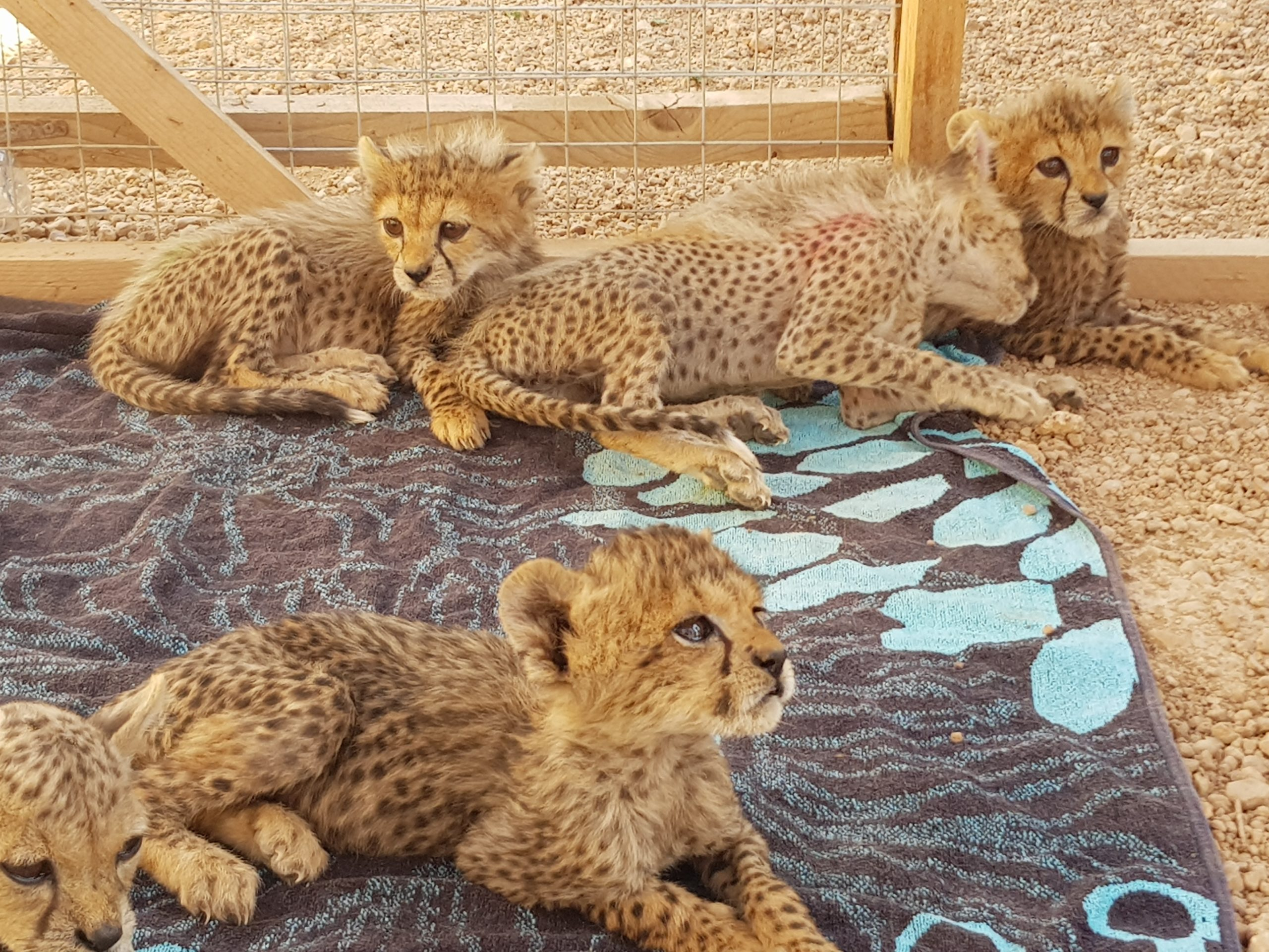 Cheetah CUBS in Cheetah Safe House in Somaliland