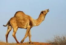 The number of wild camels in Australia has increased in recent years.