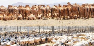 Somaliland is set to resume exporting livestock to the United Arab Emirates