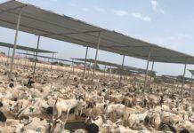 The Berbera livestock quarantine facility during Hajj season 2018. Source: Ahmed M. Musa (2018).