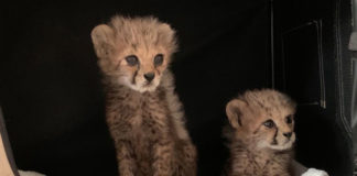 Two cheetah cubs rescued in Borama, Somaliland – 24 July 2020