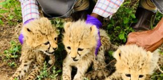 Cheetah cubs rescued from wildlife smuggling trade in Somaliland