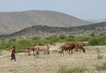 Livestock herding is a dominant way of life in many parts of Somalia. Photo by: Sara Jerving / Devex