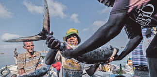 Untapped riches. Fishers unload their catch of tuna, barracuda, sailfish, kingfish and others at the fishing port in Berbera, Somaliland, where catches are predicted to stay stable – or even increase – with climate change. TOMMY TRENCHARD/PANOS